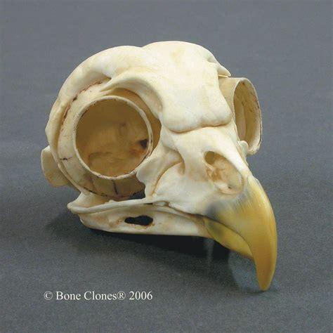 bone clones 174 barred owl skull