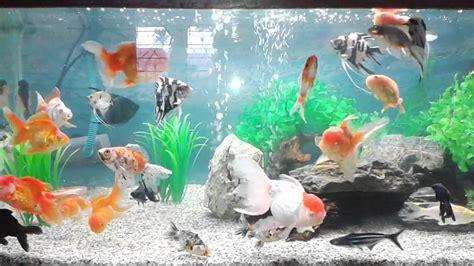 Harga Aquarium Untuk Ikan aquarium ikan koki 2