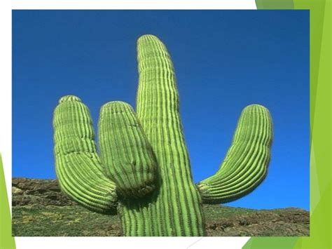 Imagenes De Animales Y Plantas Del Desierto   plantas del desierto por ana pilamunga