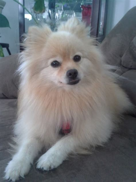 how much is a teddy pomeranian 100 best images about dogs on