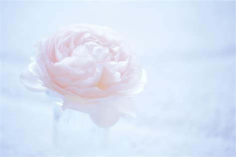 red camellia flower wallpaper 1024x768 resolution camellia wallpaper os camellia flower pink