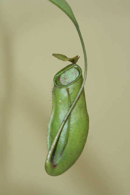 Tanaman Hias Kantong Semarnepenthes Mirabilis Hijau tanaman nepenthes x trichocarpa hijau bibitbunga
