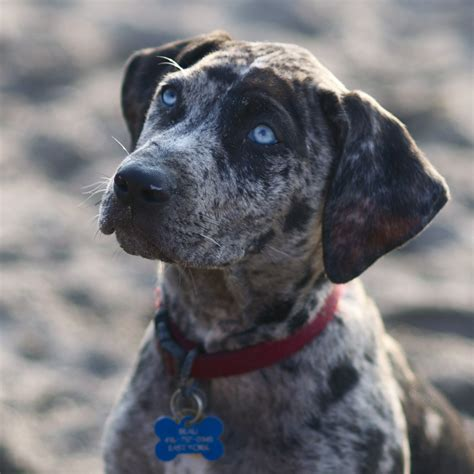 cur puppy macro catahoula cur photo and wallpaper beautiful macro catahoula cur pictures