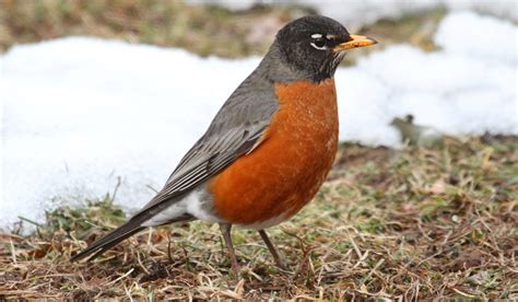 robins in winter duncraft