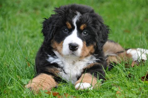 mountain puppy bernese mountain all big breeds