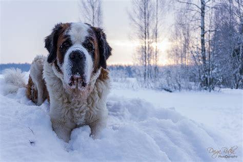 snow breeds st bernard news stories pictures products st bernards home