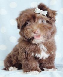 chocolate havanese puppies for sale havanese on havanese puppies havanese dogs and puppys