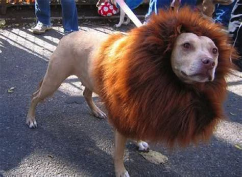 pugs bred for lions happy howl o ween the best costumes for your s breed project pawsitivity