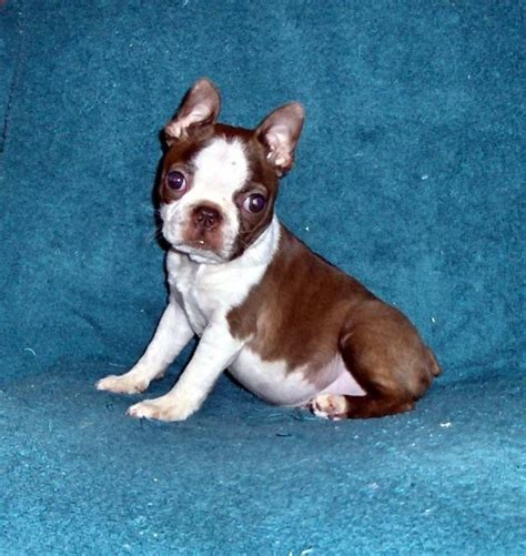 boston terrier puppies for sale in houston boston terrier breeder tx dogs our friends photo