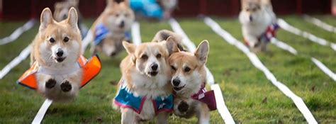 corgi puppies bay area corgi races featuring the ta bay corgi meetup ta fl jul 1 2017 5 00 pm