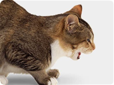 cat couching control fleas on cats prevent heartworms in cats revolution