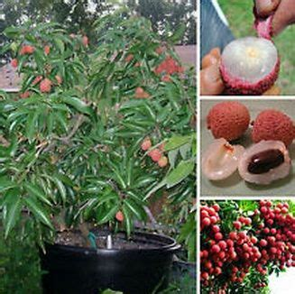 Penjual Bibit Buah Leci tanaman leci kom lychee tanaman buah