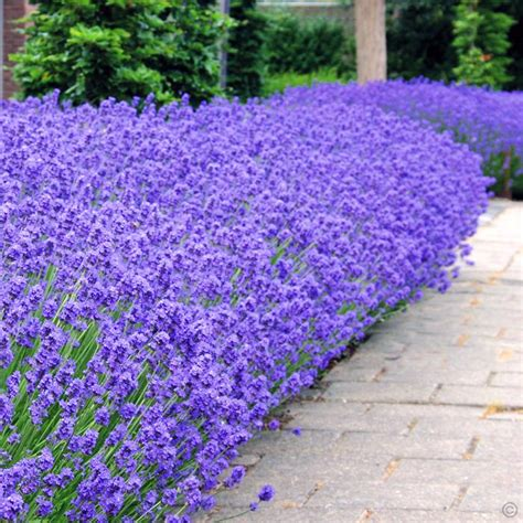lavender angustifolia munstead 7cm pot 5 plants buy online order yours now