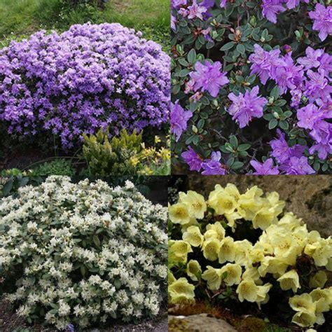 hardy flowering evergreen shrubs 3 x rhododendron mixed evergreen shrub hardy garden