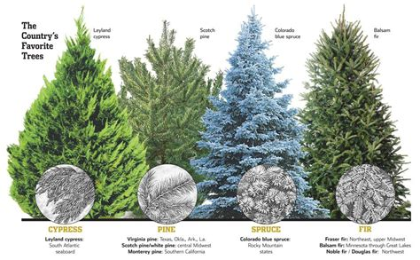 best christmas tree species types of trees monstermathclub