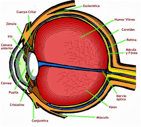 imagenes de ojos humanos y sus partes 211 rgano de la visi 243 n anatom 237 a humana general