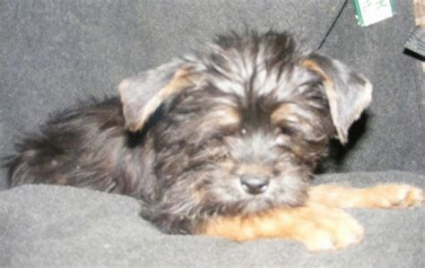 affenpinscher yorkie mix affenshire breed information and pictures