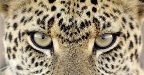 Big List best big cats list of big cat species