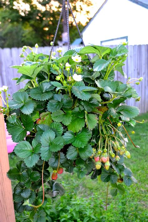 Hanging Strawberry Planter by Hanging Strawberry Plant Got Big Haha Gardening