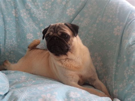 pugs for sale chelmsford pedigree pug chelmsford essex pets4homes