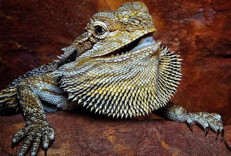 Bearded Heat L At by How Turning Up The Heat Turns Bearded Dragons Into