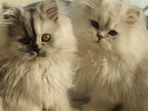 luxruious persian kittens for sale tea cup abbotsford
