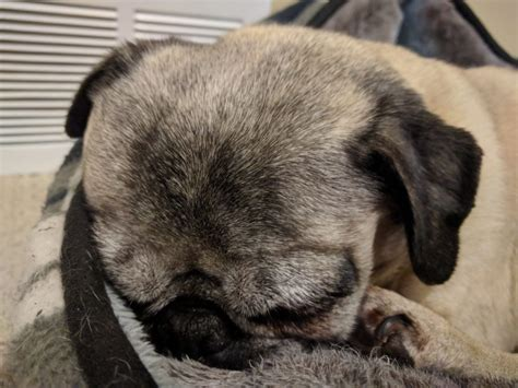 national pug day 2017 happy national napping day about pug