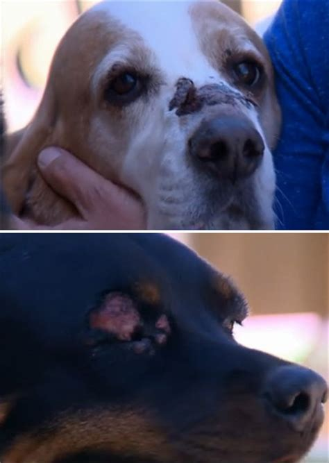 allergic reaction to dogs allergic reaction leaves two dogs injured