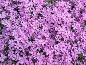 file phlox subulata flowers wide jpg