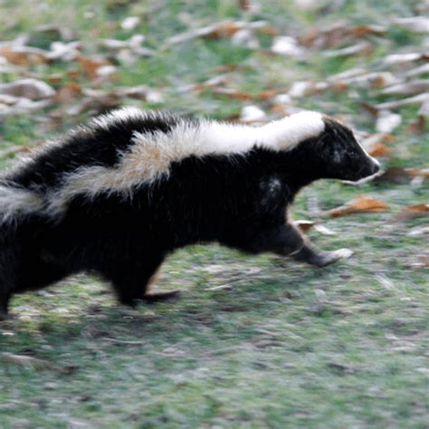 How To Get Rid Of Skunk In Backyard by How To Get Rid Of Skunks How To Get Rid Of Stuff