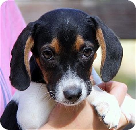 rescue wi pewaukee wi beagle mix meet anya a puppy for adoption