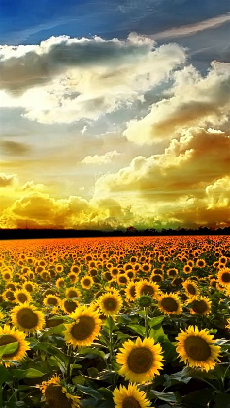 wallpaper for iphone sunflower sunflower pictures iphone 6 plus wallpaper 21589 flowers
