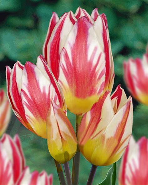 Tulpen Bestellen 1177 by Tulpen Bestellen Tulpen Gef Llt Columbus Pink
