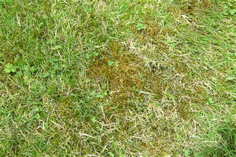 does roundup kill moss a guide to maintaining your lawn all year ltg