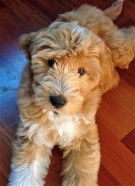 goldendoodle puppy thin coat goldendoodle wavy coat goldendoodle and labradoodle