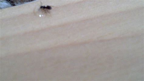 ants in my house black ants in house seattle ant control