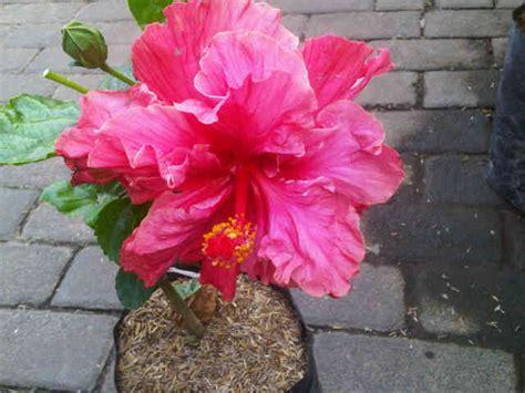 Tanaman Hisbiscus tanaman hibiscus pink bangkok jual tanaman hias