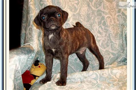 bugg puppies brindle bugg puppies breeds picture