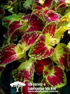 Mossrose Kuning Muda Tanaman Jadi kapuas febryana koleksi tanaman hias