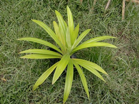 ornamental plants green plants
