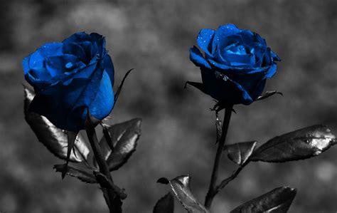 imagenes de rosas azules y negras wallpaper de rosas azules im 225 genes y fotos