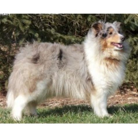 sheepdog puppies ohio shelties shetland sheepdog breeder in mansfield ohio listing id 20139