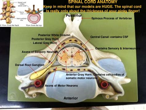 spinal cord cross section model brain dissection pictures