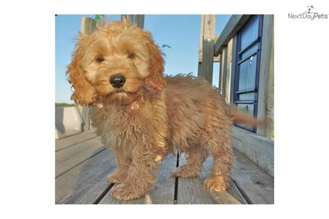 cockapoo puppies for sale in mn cockapoo puppy for sale near minneapolis st paul minnesota 310d344b 1551