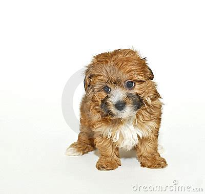 kidney failure in yorkies yorkie poo puppy on a white background with copy space breeds picture