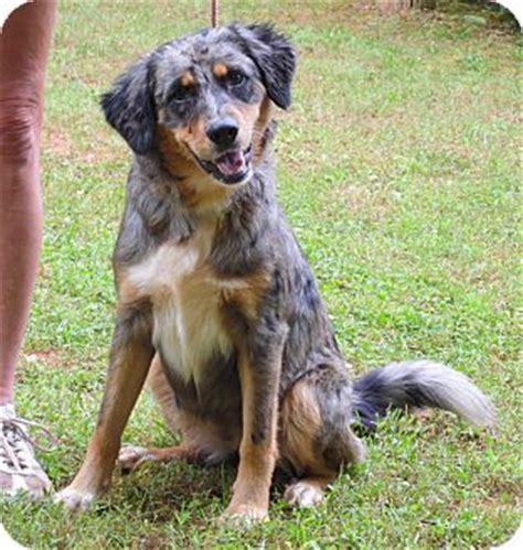 catahoula leopard mix catahoula leopard mix with australian shepherd
