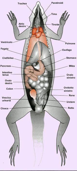 organi interni anatomia e fisiologia aae onlus
