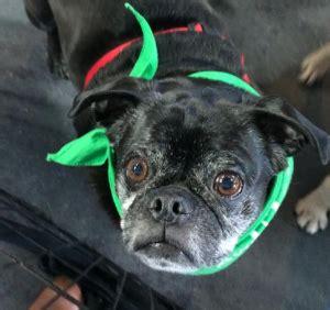 pug rescue sydney sydney pug partners of nebraska