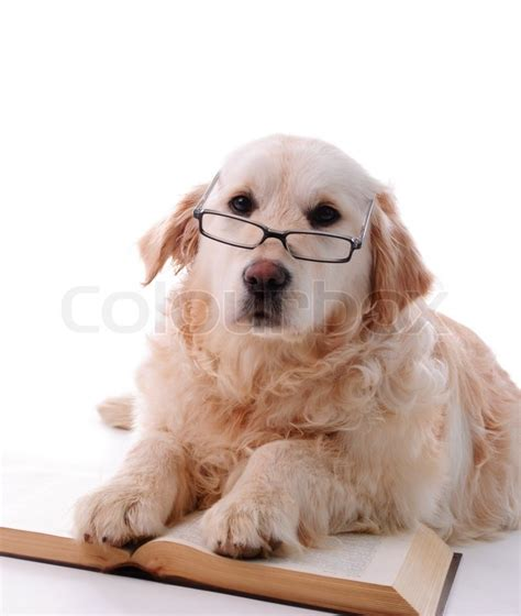 books about golden retrievers golden retriever puppy isolated on white background and reading book stock photo