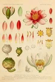 Lotus Illustrations Botanical 1 On Botanical Illustration